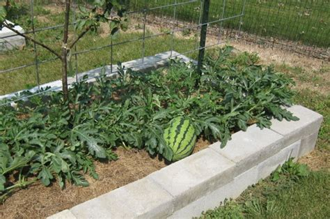 Melon Trellis Growing Watermelon On Trellises Abundant Mini Gardens