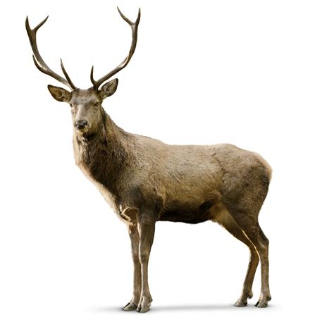 deer images deer facts for what is a deer dk find out