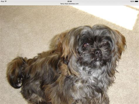 yorkie wanted shih tzu x yorkie wanted clacton on sea essex pets4homes