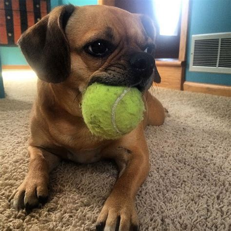 when can puppies get their get mixed up with these precious puggle puppy pictures