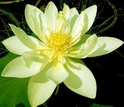 fiori di loto significato significato loto 4 significato dei fiori significato