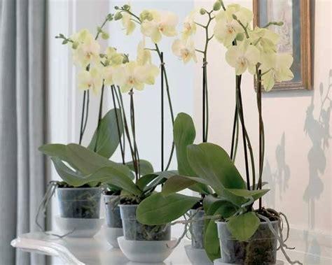 cura delle orchidee in appartamento come curare un orchidea piante appartamento consigli
