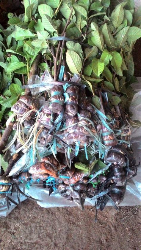 Bibit Buah Cangkokan panduan lengkap cara mudah mencangkok berbagai macam tanaman buah budidayakita