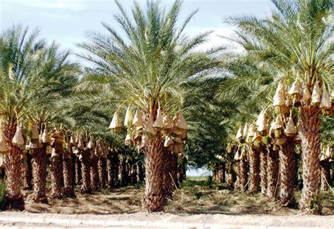 Kurma Bam Iran By Firgi antara muslim dan pohon kurma