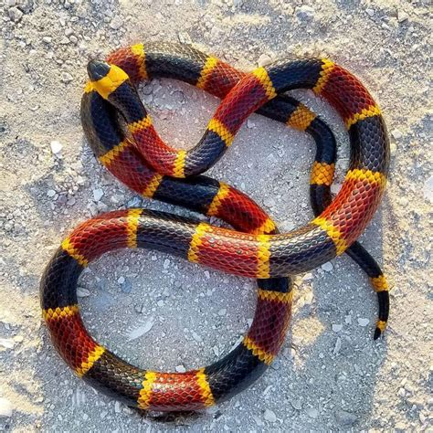 snake pattern red black yellow 178 best herp keepers images on pinterest reptiles
