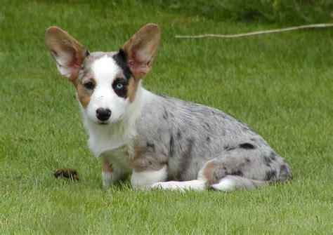 cardigan corgi puppies cardigan corgi breed information puppies pictures