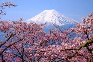 Japanese Blossom Tree when to see japan s cherry blossom trees in full bloom