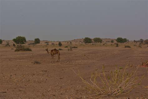 thar desert animals 100 thar desert animals camel safari in thar desert