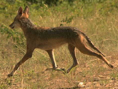 best 28 coyote vcdb dfw wildlife bobcat vcdb dfw