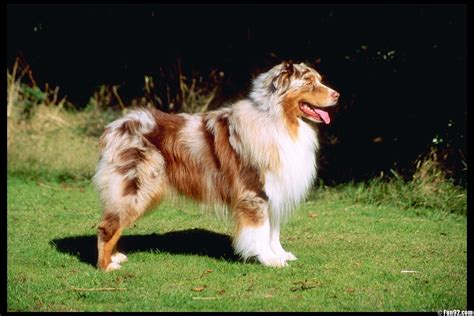 australian shepherd house dog australian shepherd dogs wallpapers hd wallpapers