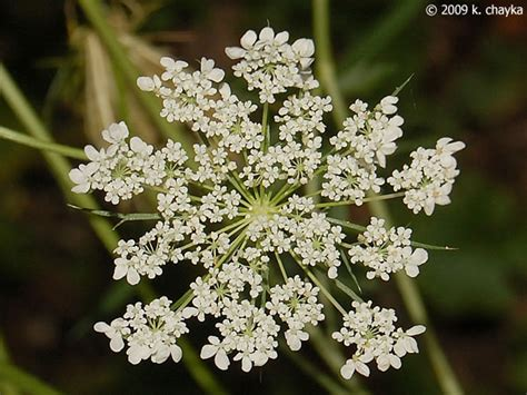 Flowers Lace daucus carota s lace minnesota wildflowers