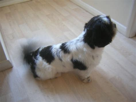 house trained dogs for sale uk shih tzu dog puppy for sale trained and loveable wakefield west yorkshire pets4homes