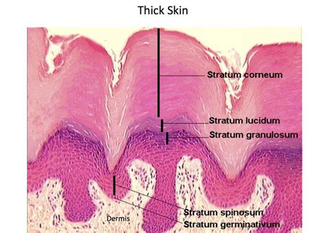 tick skin thick skin epidermal layers histology histology skin thick skin