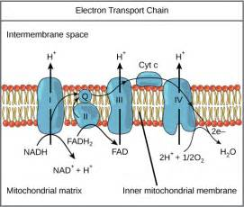 Proton Definition Biology Cell Biology Electron Transport Chain In Mitochondria