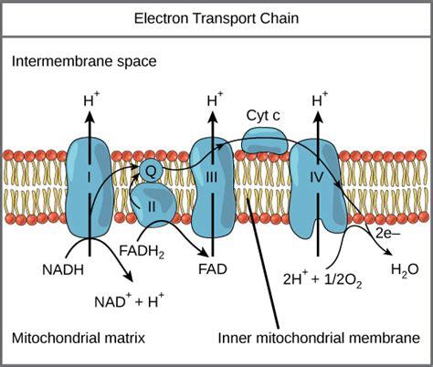 diagram and explain electron transport oxidative phosphorylation boundless biology