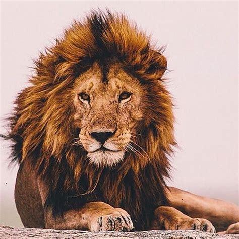 "arrowovermyheart: ""serengeti national park tanzania. #lion"
