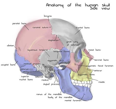 skull anatomy printable anatomy worksheets autos post