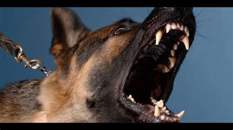 angry dog bark growl sound effects funnydogtv