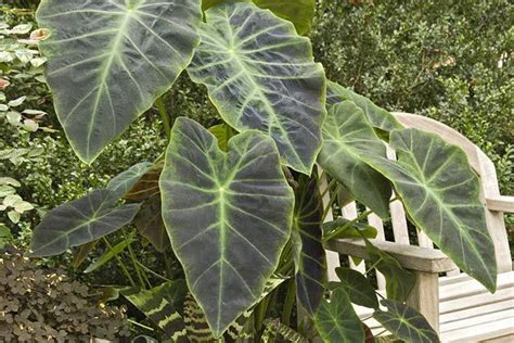how to grow elephant ear plants north carolina landscaping pinter