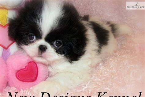 Pin Japanese Chin Dogs Puppies For Sale On