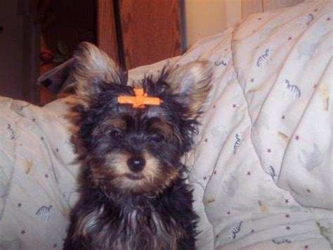 free yorkie puppies in ohio 2 terrier puppies for free to home northeast ohio dogs for sale