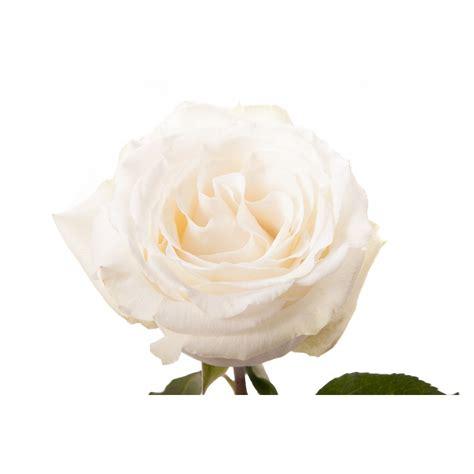 Types Of Garden Roses - white rose white dove white cream roses flower muse