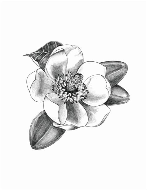 white magnolia flower drawings www imgkid com the
