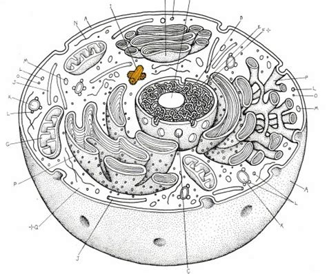 blank animal cell diagram blank animal cell worksheet