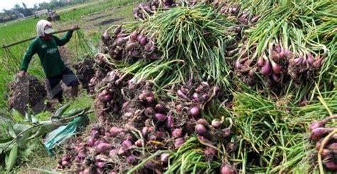 Tanaman Obat Bawang Lanang bawang merah ciri tanaman serta khasiat dan manfaatnya situs tanaman obat indonesia