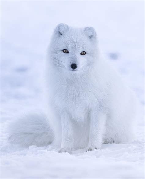 Arctic Fox Wikipedia The Free Encyclopedia | arctic fox wikipedia the free encyclopedia arctic fox