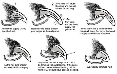 trimming puppy nails nail trim diagram louis all dogs