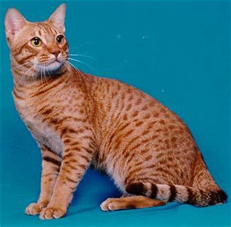 Top Cat Breeds: Ocicat Breed