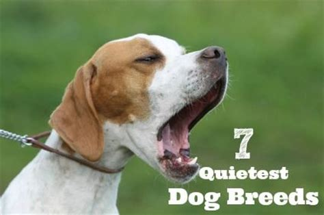 quietest breeds quietest breeds animals pets