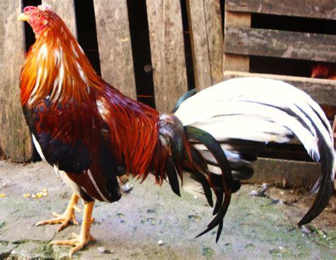 peleas de gallos finos 2015 gallos finos de pelea criadero los zorro