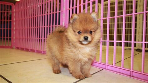 local pomeranians for sale pomeranian puppies for sale in ga at puppies for sale local breeders