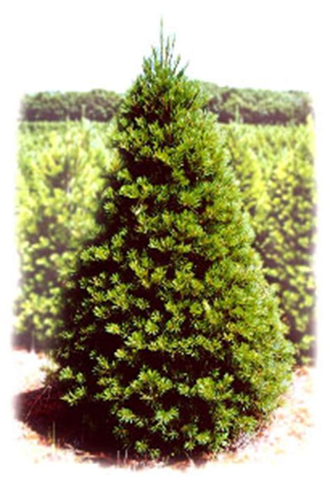 28 best eby pines christmas trees eby s evergrteen