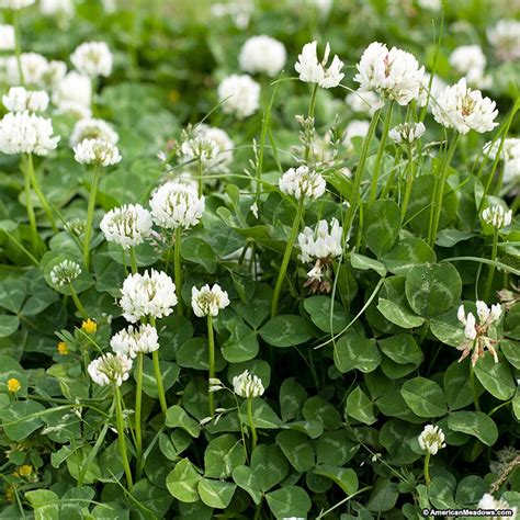 Clover Blue White by White Clover Seeds Trifolium Repens American