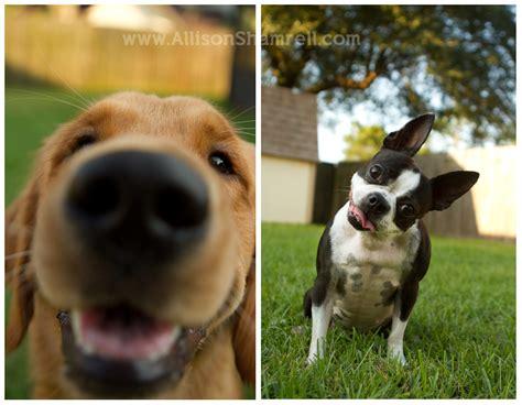 golden retriever boston terrier mix terrier golden images