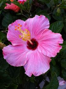 which state has a hibiscus hibiscus florida state flower florida plants pinterest the o jays hibiscus and florida