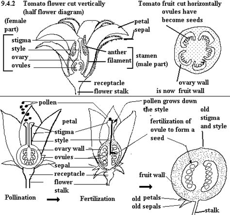 tomato flower diagram pollination in the vegetable garden tomatoes yard and