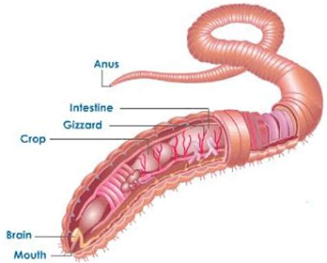 earthworm dissection digestive system my bio 11