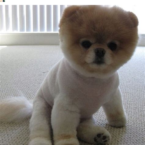 pomeranian puppies that look like teddy bears on teddy puppies teddy bears and teddy dogs breeds picture