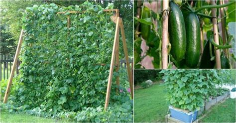 how to a grown growing cucumbers vertically www pixshark images galleries with a bite