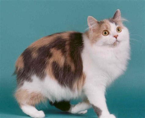 Cymric Cat: Pictures, Personality, and How to Care for