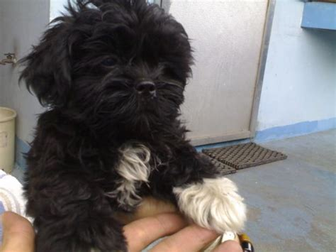 black shih tzu puppy puppy dogs black shih tzu puppies