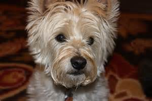 cairn yorkie mix west highland terrier white westie dachshund mix breeds picture