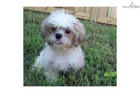 names for shih tzu males shih tzu for sale for 350 near jonesboro arkansas ce461521 9d51