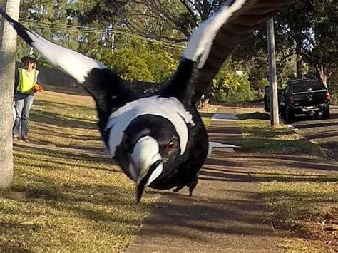 caw blimey! magpie season has started early | caboolture news