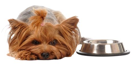 yorkie food best food for yorkies the munch zone