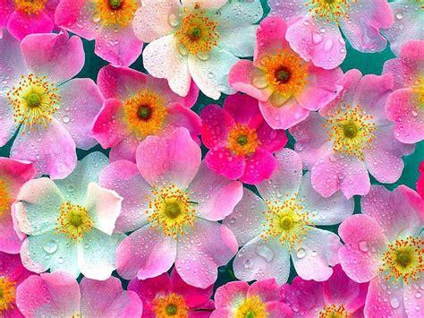 cute hd wallpaper of flowers cute flowers wallpaper hd skilal 457278 wallpapers13 com